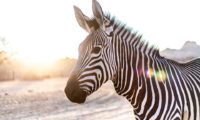 zebra-3758310_960_720